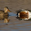 Northern Shovelers winter by the thousands along the wetlands of the Rio Grande in New Mexico [December; Bosque del Apache National Wildlife Refuge, San Antonio, New Mexico]