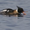 Aggressive Red-breasted Merganser [May; Park Point, Duluth, Minnesota]