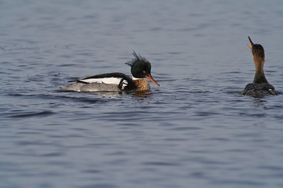 Red-breasted Merganser mated pair [May; Park Point, Duluth, Minnesota]