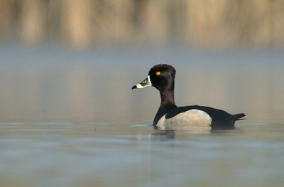 Ring-necked Duck from floating blind [May; Tobin-Kimmes wetlands,  Douglas County, Wisconsin]