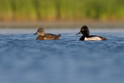 Ring-necked Ducks are a common breeder in northern ponds [July; Tobin-Kimmes Wetlands, Superior, Wisconsin]