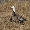 """The """"Blue Goose"""" is a color morph of the white Snow Goose, not a separate species as once believed. They are more common in the midwest but only about 10% in the west [December; Bosque del Apache National Wildlife Refuge, San Antonio, New Mexico]"""