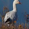 Snow Goose [December; Bosque del Apache National Wildlife Refuge, San Antonio, New Mexico]