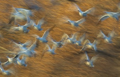 """Blast off"" is the name given to the explosive take off of large flocks of Snow Geese. The slow shutter speed heightens the feeling of motion [December; Bosque del Apache National Wildlife Refuge, San Antonio, New Mexico]"