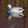 """Note the larger bill and black """"grinning patch"""" on this Snow Goose. It is a field mark that helps separate them from Ross's Geese [December; Bosque del Apache National Wildlife Refuge, San Antonio, New Mexico]"""