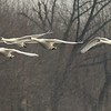 Due to the warmwater discharge of a nuclear power plant, Trumpeter Swans are able to winter on the Mississippi River in central Minnesota which would normally be frozen [February; Mississippi River Monticello, MInnesota]