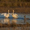 Trumpeter Swans greeting each other at Crex Meadows [October near Grantsburg, Wisconsin]