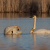 This is Trumpeter Swan 68C and N69. This photo taken in April 2010 is the third time I've seen 68C...I also saw him in summer 2007 at Tobin-Kimmes and in March 2008 at the Fond du Lac, MN bridge over the St. Louis River [April; Tobin-Kimmes wetlands, Douglas, County, Wisconsin]