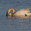 This is Trumpeter Swan 68C and 69N. This photo taken in April 2010 is the third time I've seen 68C...I also saw him in summer 2007 at Tobin-Kimmes and in March 2008 at the Fond du Lac, MN bridge over the St. Louis River [April; Tobin-Kimmes wetlands, Douglas, County, Wisconsin]