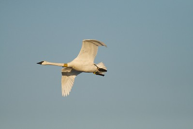 Banded Trumpeter Swan at Crex Meadows [October near Grantsburg, Wisconsin]
