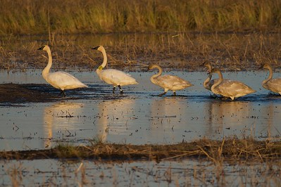 Trumpeter Swan family at Crex Meadows [October near Grantsburg, Wisconsin]