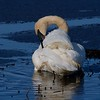 Trumpeter Swans return early for nesting at Crex Meadows [April; Crex Meadows near Grantsburg, Wisconsin]