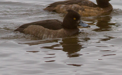Tufted Duck Canal Park Lake Superior Duluth MN-3751