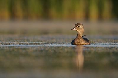 Female Wood Ducks lack the rainbow plumage of the males [July; Tobin-Kimmes Wetlands, Douglas County, Wisconsin]