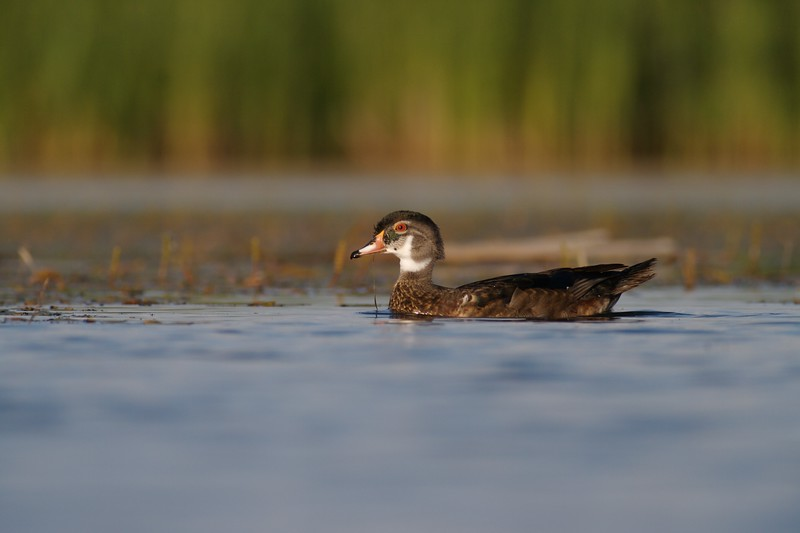 A young male Wood Duck has not yet attained his breeding plumage [July; Tobin-Kimmes Wetlands, Douglas County, Wisconsin]