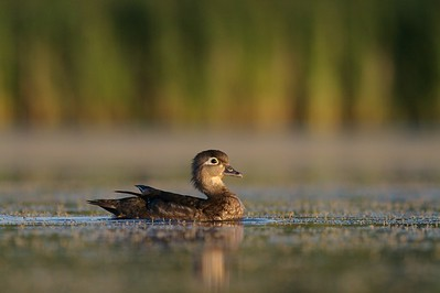 Female Wood Ducks lack the rainbow plumage of the males [July; Tobin-Kimmes Wetlands, Douglas County, Wisconsin]