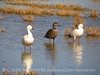 Snow and blue geese, Roswell NM (20)