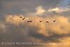 Canada geese in flight, Hayden CO (8)