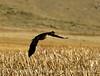 Canada goose in flight, Jackson WY (1)