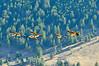 Canada geese in flight, Jackson WY (10)
