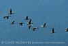 Canada geese in flight, Jackson WY (3)