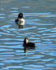 Ring-necked ducks, Jackson WY
