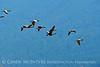 Canada geese in flight, Jackson WY (2)