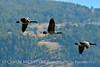 Canada geese in flight, Jackson WY (8)