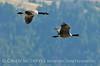 Canada geese in flight, Jackson WY (9)