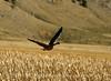 Canada goose in flight, Jackson WY (3)