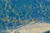 Canada geese in flight, Jackson WY (11)