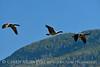 Canada geese in flight, Jackson WY (4)