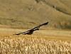 Canada goose in flight, Jackson WY (2)