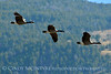 Canada geese in flight, Jackson WY (7)