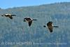 Canada geese in flight, Jackson WY (6)