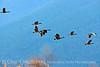 Canada geese in flight, Jackson WY (1)