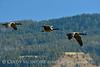 Canada geese in flight, Jackson WY (5)