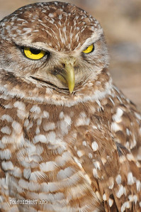 BURROWING OWL - BRIAN PICCOLO PARK