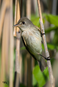 WILLOW FLYCATCHER - BAYSHORE