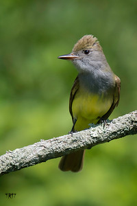 GREAT CRESTED FLYCATCHER - N.F.P.