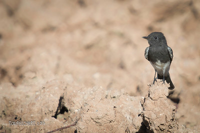 BLACK PHOEBE - ARIZONA