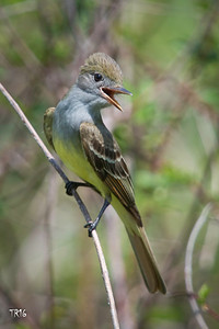GREAT CRESTED FLYCATCHER - NFP