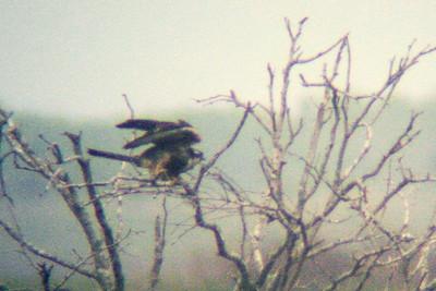 Aplamado Falcon Laguna Atascosa TX 420_2052