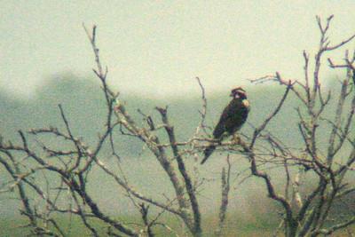 Aplamado Falcon Laguna Atascosa TX 419_1979