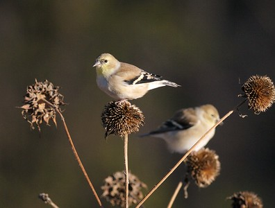 Winter-plumaged American Goldfinch feeds on seeds from last summer's coneflower [November; Galesburg, Illinois]