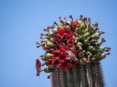 House Finch eating feeding on Saguaro cactus fruit Saguaro National Park West Unit southeast Arizona June 6-12 2019-1055085