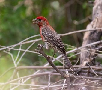 House Finch Paton Center for Hummingbirds Patagonia AZ southeast Arizona June 6-12 2019-1066820