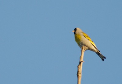 Lawrence's Goldfinch [March; Los Angeles California]