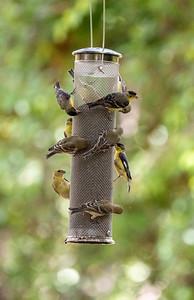 Lesser Goldfinch Patton Center for Hummingbirds Patagonia AZ southeast Arizona June 6-12 2019-1066773