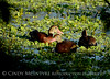 Black-bellied whistling ducks, Wacky, FL (2)